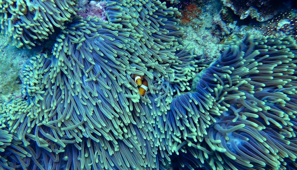 peces payaso escondidos entre las anémonas